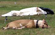 Kampfhunde bissen Kind zu Tode