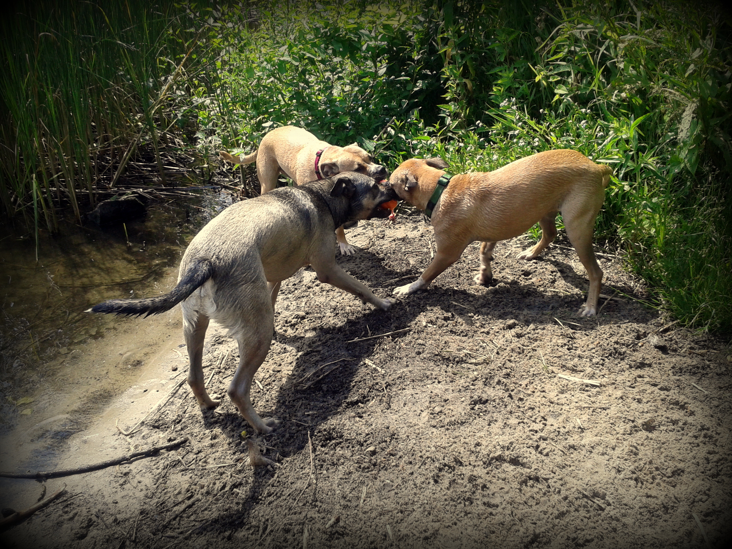 Selbst wenn drei Hunde mit einem Spielzeug spielen gibts keine Spur von Aggressivität